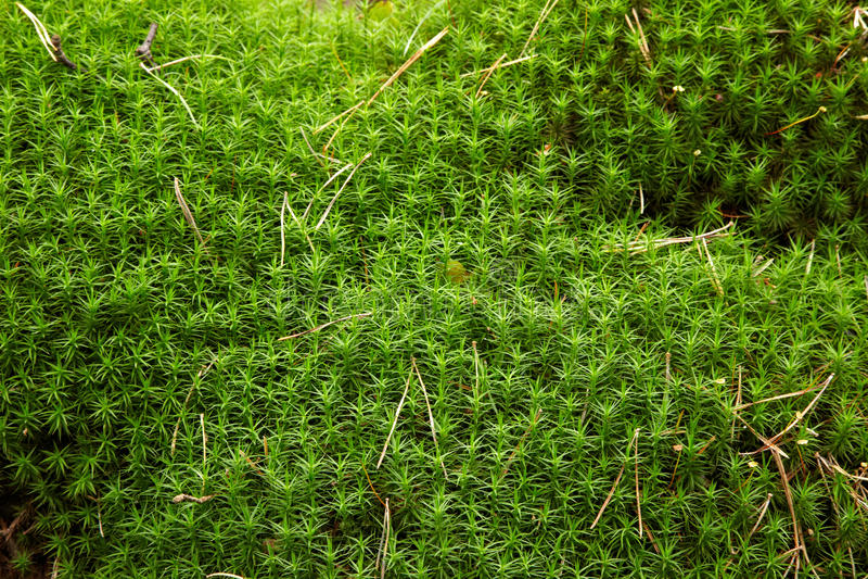 Download Moss close up stock image. Image of curonian, haircap - 25645977