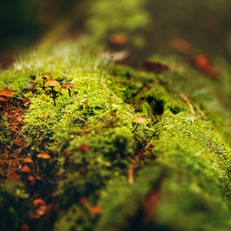 Moss Close Up View com cogumelos pequenos fotografia de stock royalty free