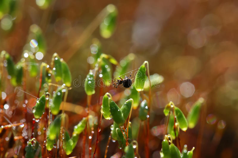 Moss closeup in the rays of the sun are covered with drops of de royalty free stock image