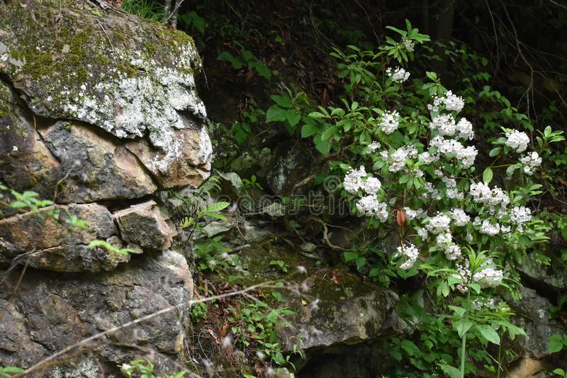 Flowering Tree near a moss covered Large Rock in the Smoky Mountain National Park stock photos