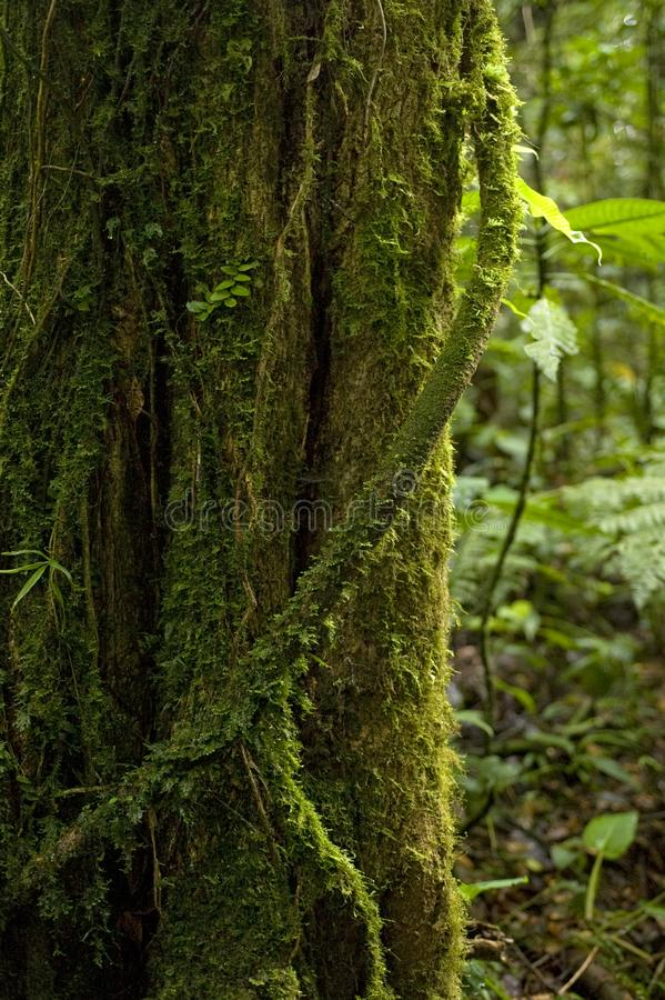 A moss-covered aerial root wraps around a tree trunk in the Monteverde Cloud Forest Reserve in Costa Rica. The Monteverde Cloud Forest Reserve was established royalty free stock photos