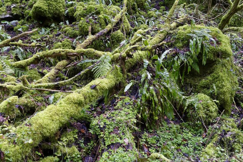 Moss covered dead tree. S & rocks in ancient woodland Ebbor Gorge, Mendip Hills, Somerset, UK stock photos