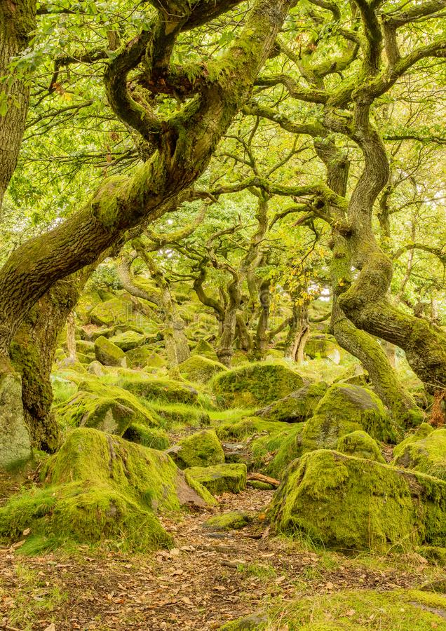 Moss covered forest floor in amongst the twisted trees at padley gorge royalty free stock photography