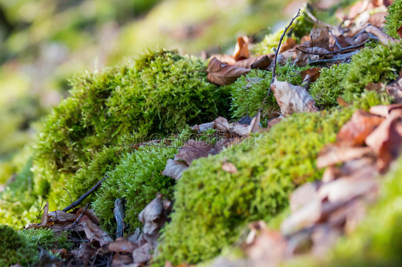 Moss covered with leaves stock image