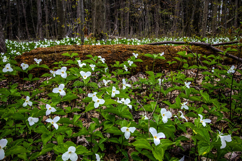 Moss Covered Log And Wild White Trillium. stock photography