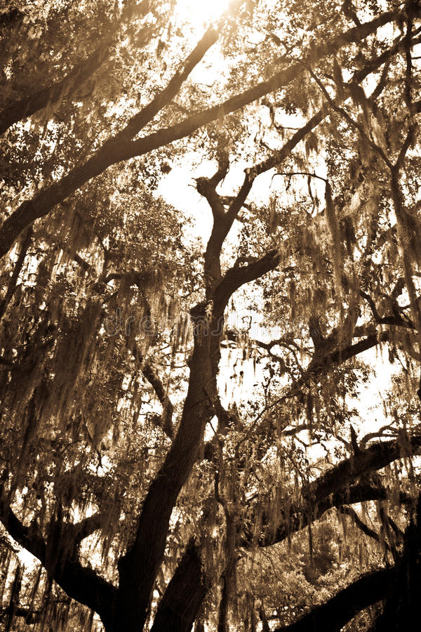 Moss covered OakTree royalty free stock photos