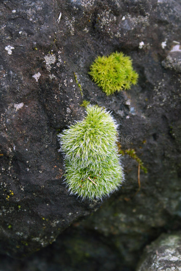 Moss Covered Rock royalty free stock photo