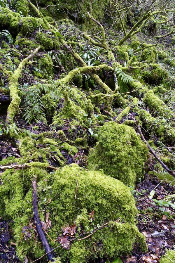 Moss covered rocks. Moss covered dead trees & rocks in ancient woodland Ebbor Gorge, Mendip Hills, Somerset, UK stock image