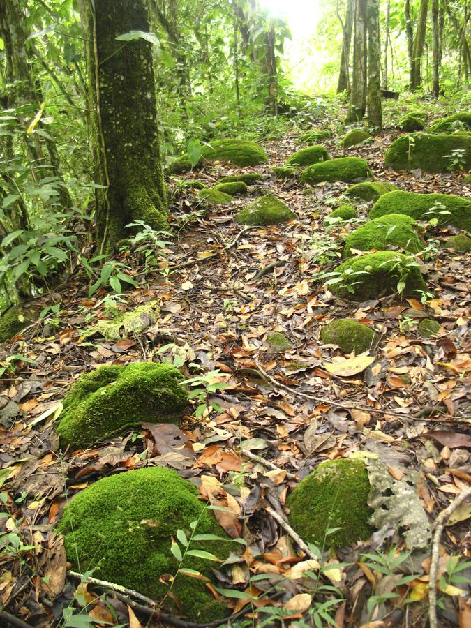 Moss covered rocks among path, Altamira de Cáceres, Barinitas, Venezuela. A path through an Venezuelan temperate rainforest, with lush tree ferns moss covered royalty free stock photos