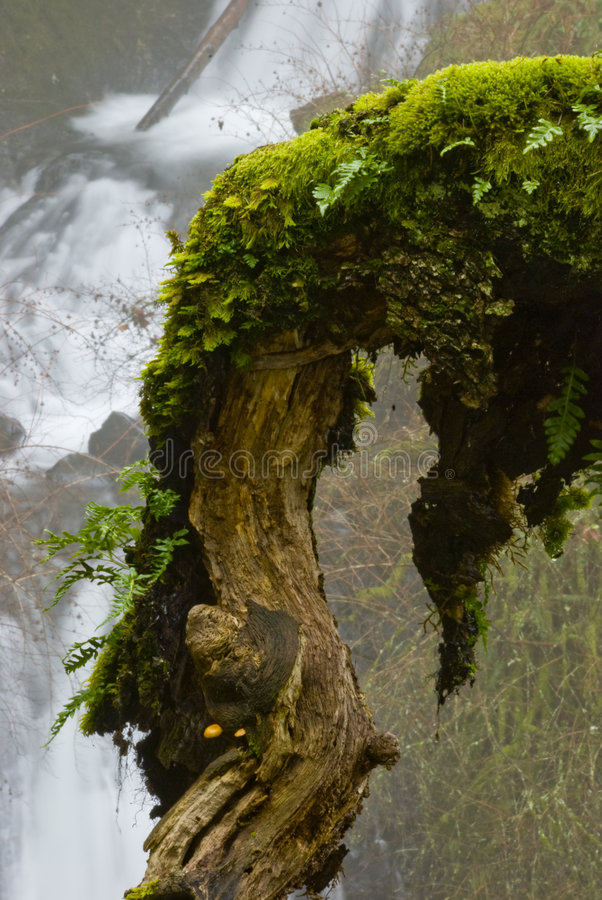 Moss covered tree branch royalty free stock photos