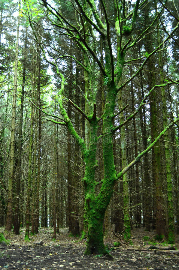 Moss Covered Tree at Dunvegan stock image