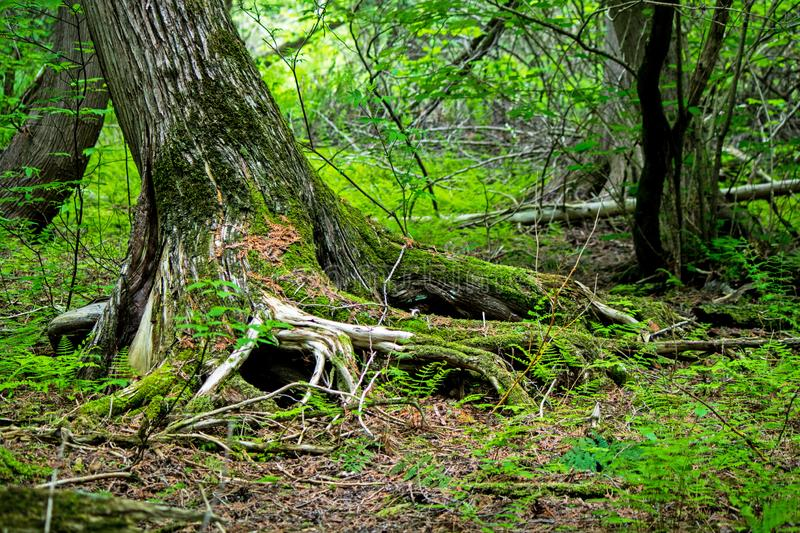 Moss Covered Tree Trunk And Roots. A late springtime forest scene in Ontario, Canada. A moss covered tree trunk stands at an angle with its roots exposed stock photos