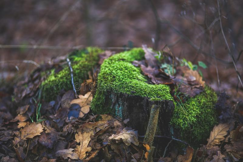 Moss covered tree trunk surrounded by fallen leaves royalty free stock photography