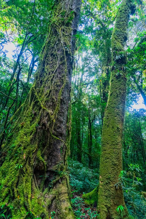 Moss covered trees in the rain forest stock images