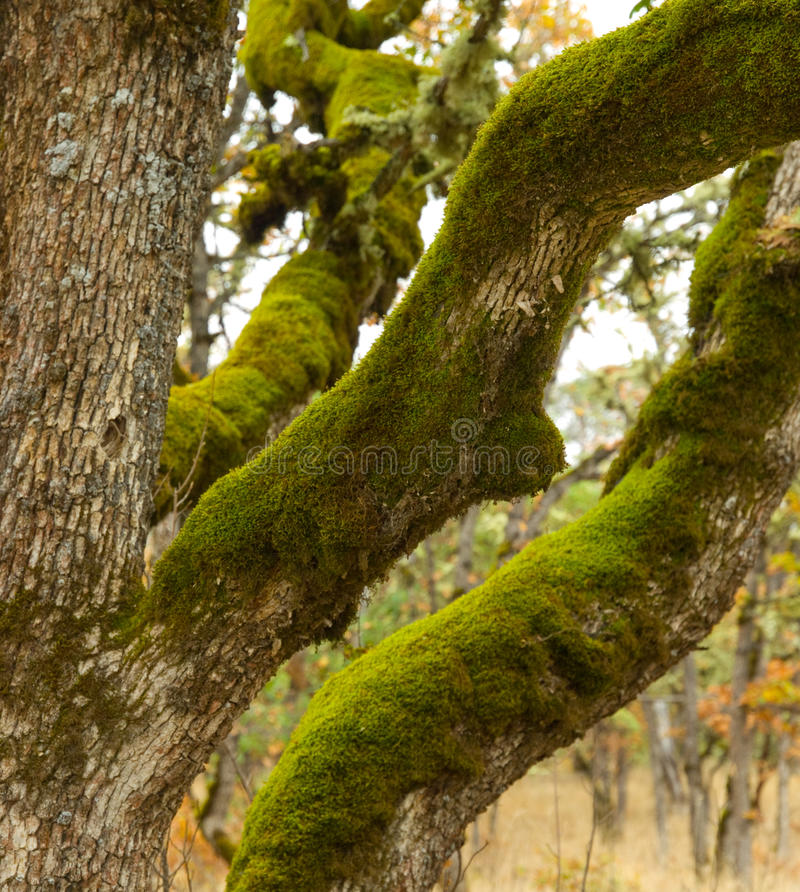 Download Moss covered White Oak stock photo. Image of limbs, moss - 17286492