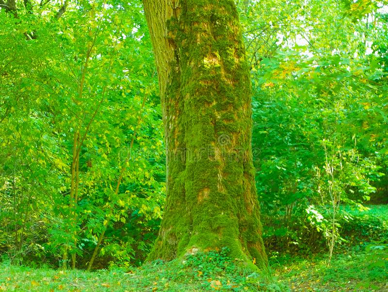 Moss covering tree. Deep forest with a centered tree trunk covered with moss under morning sunlight stock images
