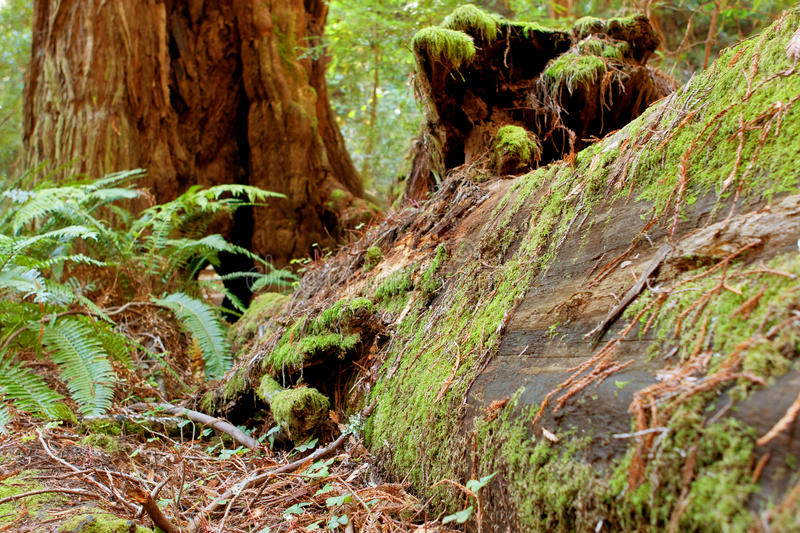 Moss Covers Fallen Redwood In California Forest royalty free stock image