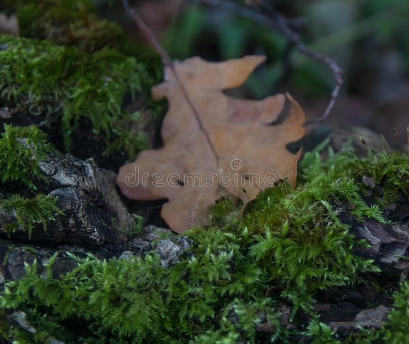 Moss covers an old trunk of a fallen tree with a fallen oak leaf stock image