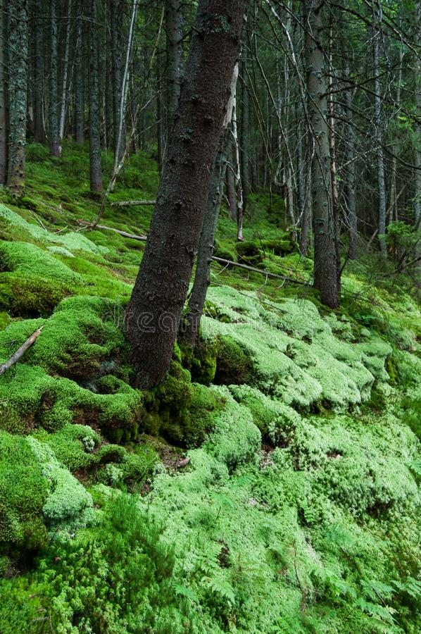 Moss in a dense forest. Beautiful dense forest with soft green moss. Summer in the mountain spruce forest royalty free stock images