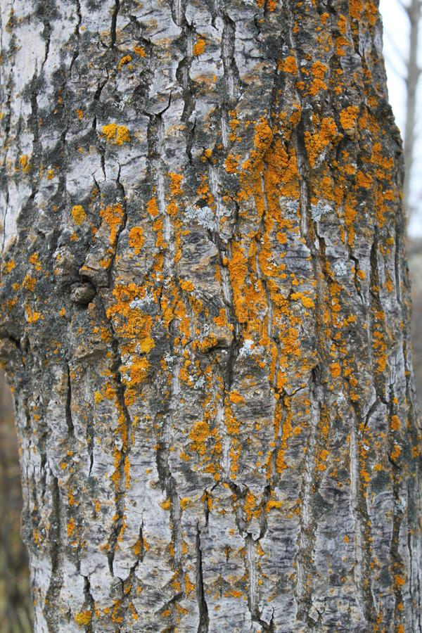 Moss etching on a manitoba black poplar stock photography