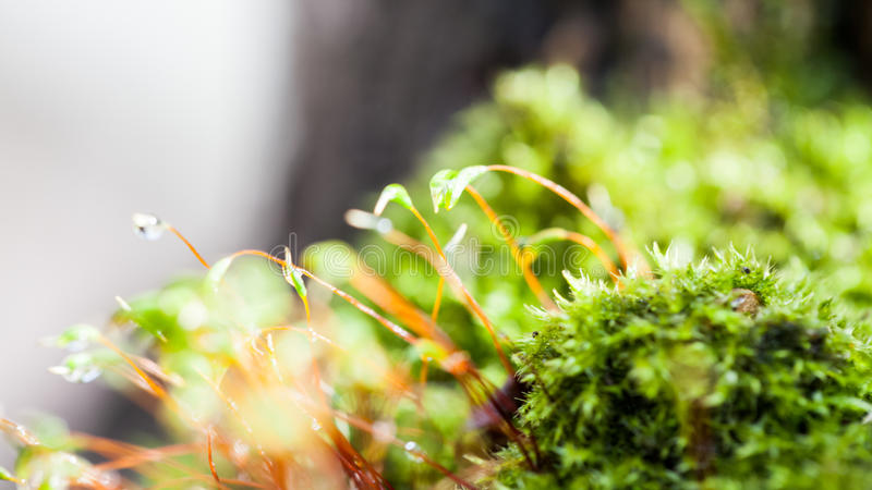 Moss flowers in spring. With natural background royalty free stock images