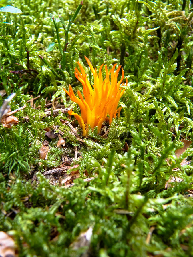 Moss. In the forest and small orange `flame` mushroom stock photo