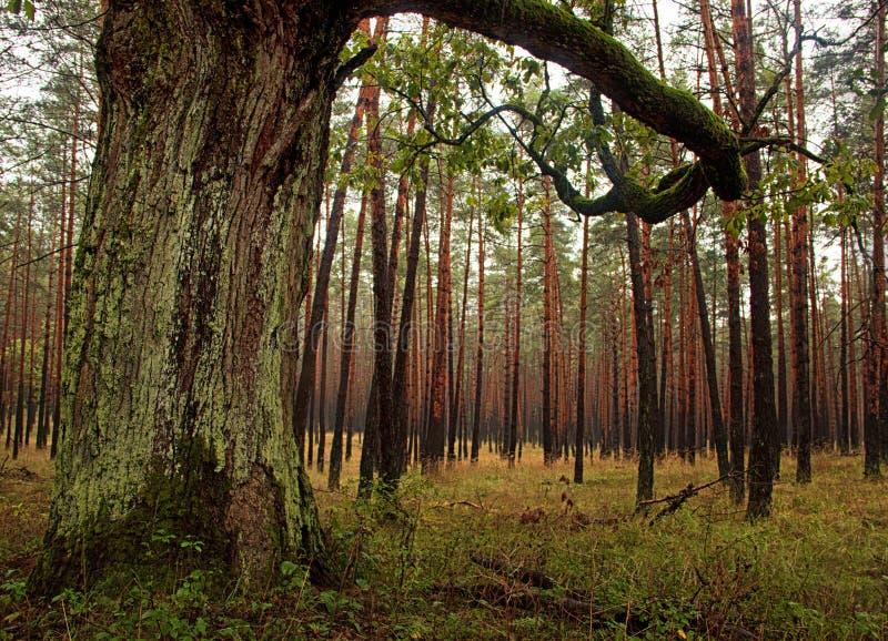 Moss Forest Trees lizenzfreie stockfotos