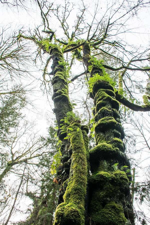 Moss Giants royalty free stock photos