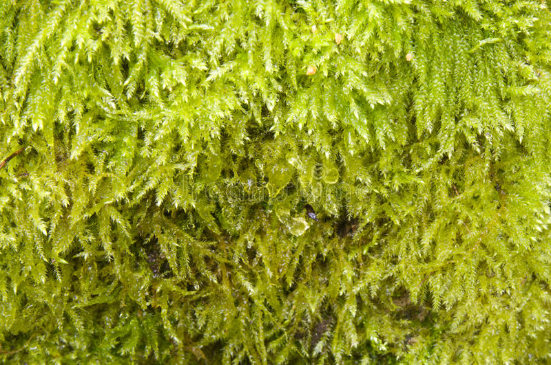 Download Moss green stock photo. Image of lawn, drops, plant, green - 18320052