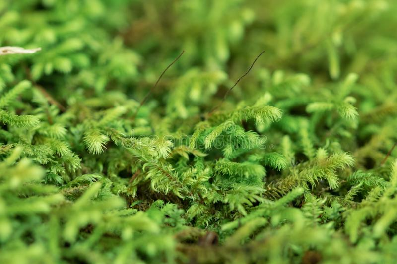 Moss Green on the branches stock images