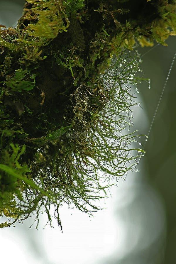 Moss Green en una barra de madera larga imagen de archivo