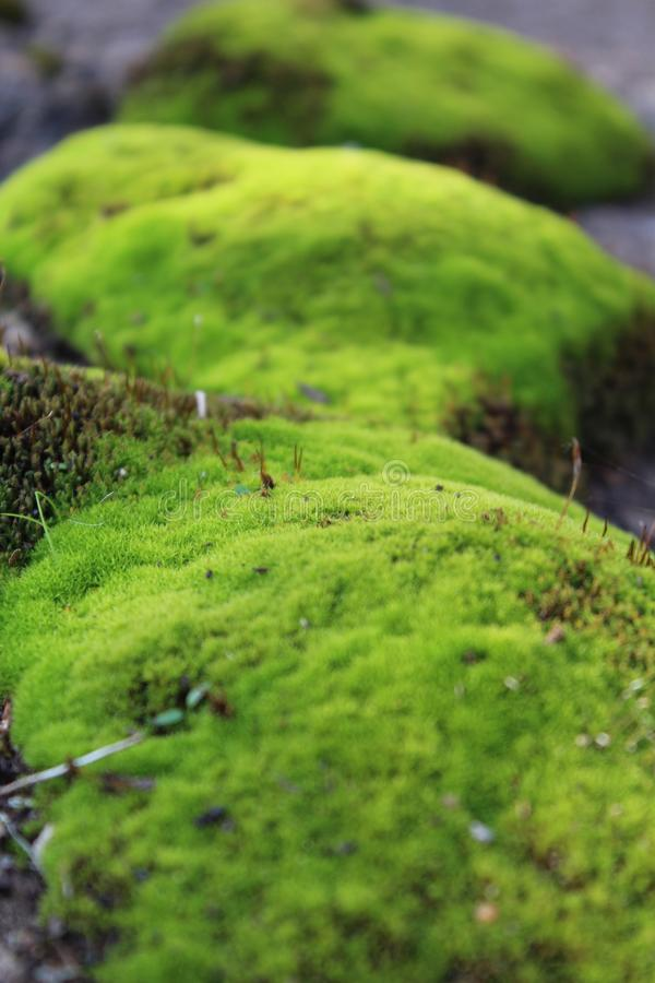 Moss green, soft, natural, in natural conditions in the daytime, close-up, with a blurred background. Moss green, foft, natural, in the forest, in the natural royalty free stock photography