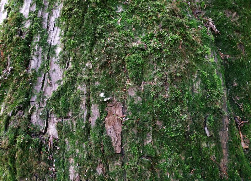 Moss green grunge texture in trees. Moss background. Green moss on grunge texture, background stock photos