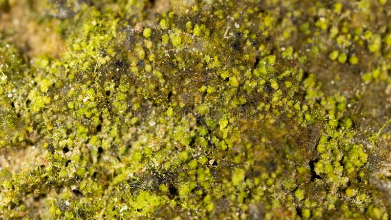 Moss green in nature. macro. In the park in nature royalty free stock image