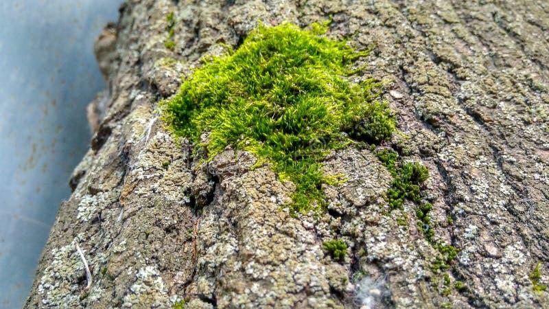 Moss green tree maple bark 02.07.19 stock images