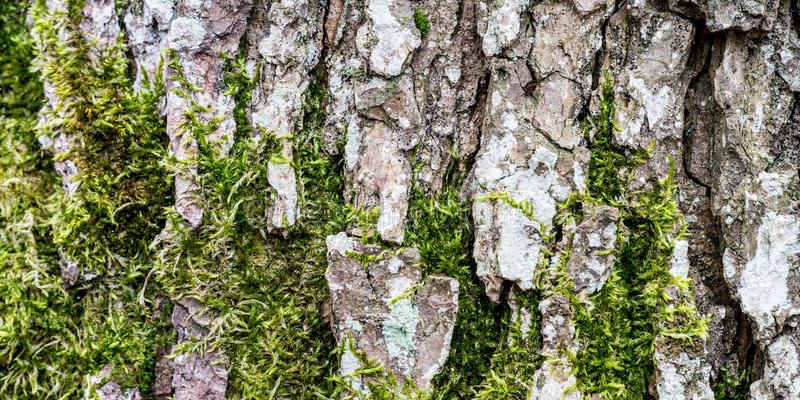 Moss growing on bark of tree trunk. An abstract textured background created by green lichen moss growing in fissures which occur in the bark of a tree trunk stock photo