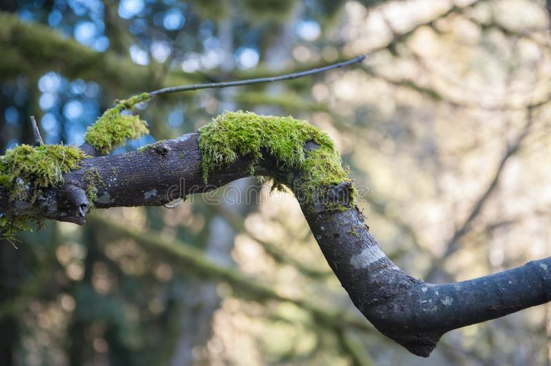 Moss Growing on bent tree branch in Goldstream Park royalty free stock images