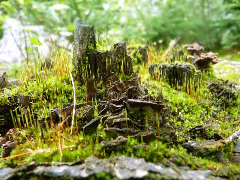 Moss Growing in Forest on Tree Stump Close Up Macro Detail stock image