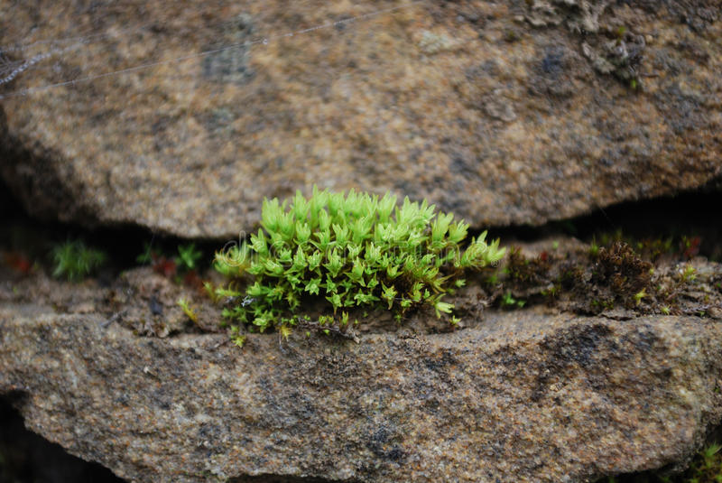 Moss Growing out of A in Stone Wall stock photo