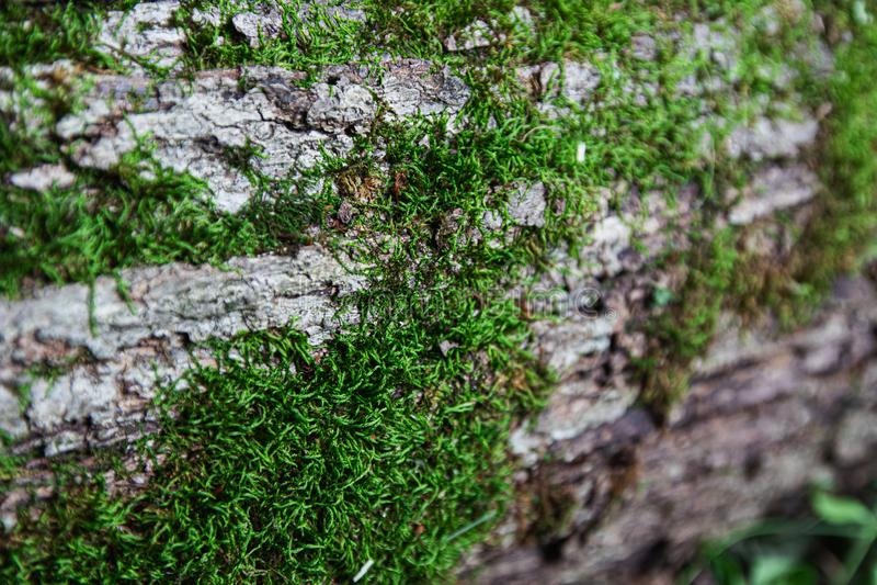 Moss Growing sur le tronc d'arbre mort photos stock
