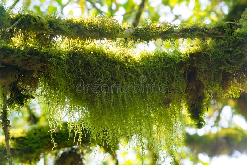 Moss-grown branches  in rainforest of Uganda stock photography