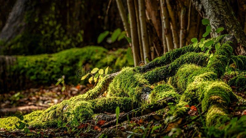 Moss Grows sur l'arbre Toots images libres de droits