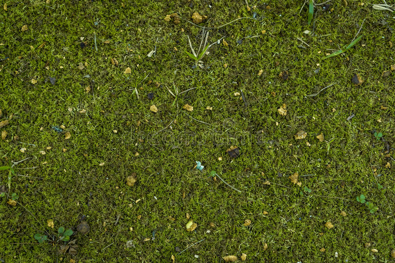 Moss royalty free stock photo