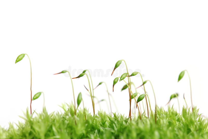 Download Moss isolated stock image. Image of green, irish, blade - 13983607