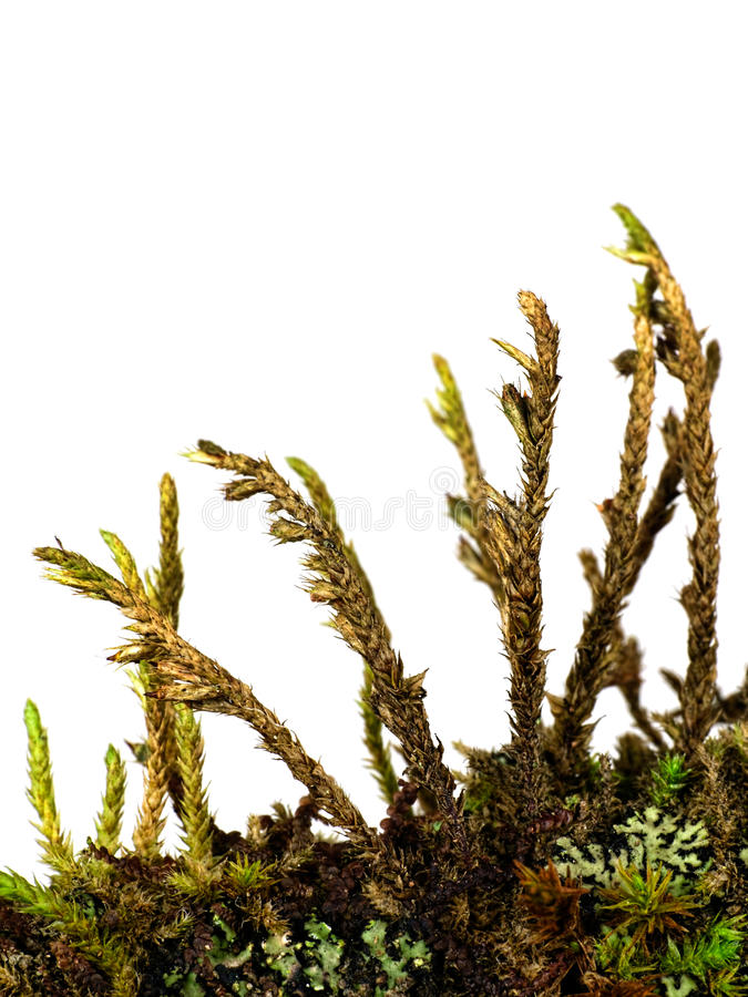Moss lichen and algae on twig, macro isolated over white background stock image