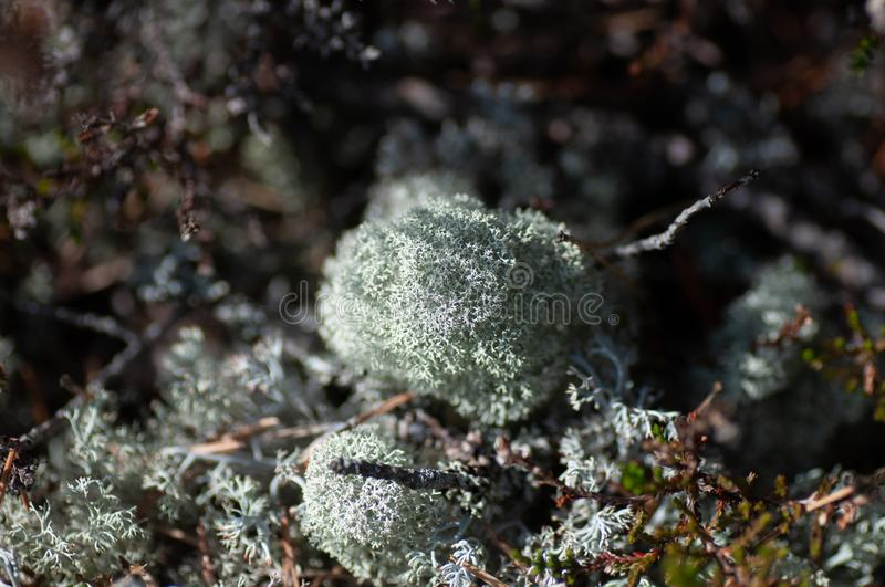 Moss lichen Cladonia rangiferina. Grey reindeer lichen. Beautiful light-colored forest moss growing in warm and cold climates. Deer, caribou moss royalty free stock images
