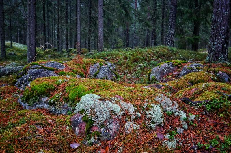 Moss and lichen covered rocks in forest royalty free stock images