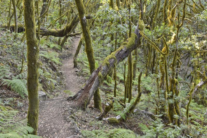 Ancient forest La Gomera Canary Islands. Moss and lichen covered trees. Hiking path through evergreen laurel forest of Garajonay National Park La Gomera Canary royalty free stock image