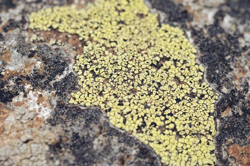 Moss and lichen grow on a stone. Macro. background of Lichen Moss stone royalty free stock photo