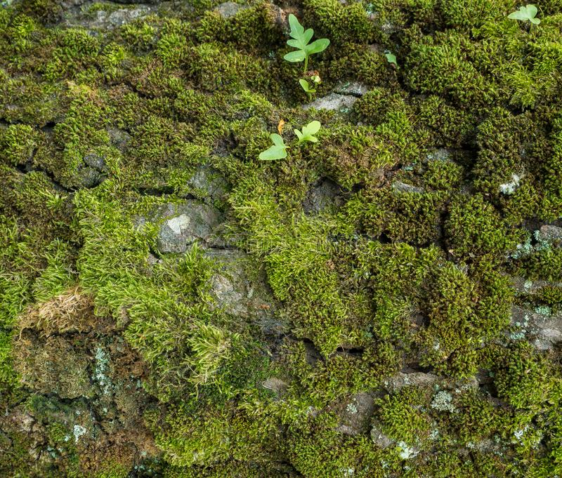 Moss and lichen growing on tree bark. Closeup of tree trunk. Rustic background image royalty free stock photo
